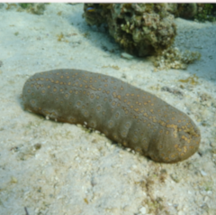Sea Cucumber Week